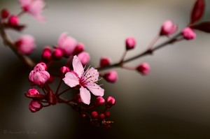 cherry_blossom_by_raylau-d4ve992